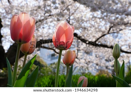 Pink tulip flowers and cherry blossoms are blooming at flowers garden park in Japan. March and April in Spring. Royalty-Free Stock Photo #1946634298