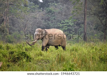 Tusker elephant manas national park Royalty-Free Stock Photo #1946643721