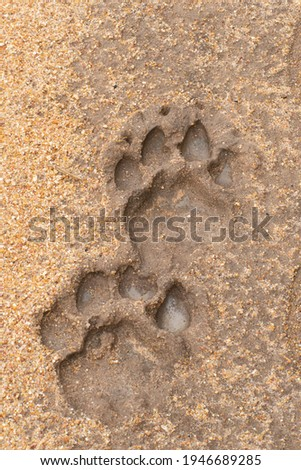 Lion footprints seen embedded in mud on a safari in South Africa Royalty-Free Stock Photo #1946689285