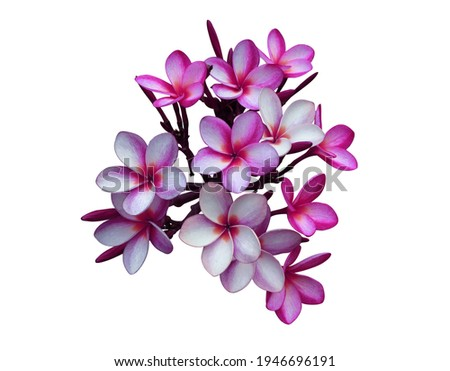 Plumeria, Frangipani, Temple tree,  Close up beautiful pink-purple plumeria flowers bunch isolated on white background with clipping path. Close up tropical flowers. Royalty-Free Stock Photo #1946696191