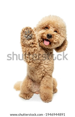 Cute puppy of Maltipoo dog posing isolated over white background Royalty-Free Stock Photo #1946944891