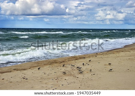 A group of woodcocks gathers invertebrates on the seashore on the surf line Royalty-Free Stock Photo #1947035449