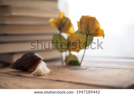 achatina albino close-up, gastropod tastes yellow dried flower, snail for animal soul, achatina texture of snail body surface. The use of snails in cosmetology Royalty-Free Stock Photo #1947189442