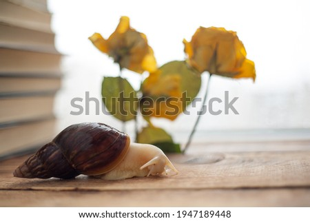 achatina albino close-up, gastropod tastes yellow dried flower, snail for animal soul, achatina texture of snail body surface. The use of snails in cosmetology Royalty-Free Stock Photo #1947189448