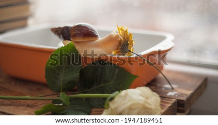 achatina albino close-up, gastropod tastes yellow dried flower, snail for animal soul, achatina texture of snail body surface. The use of snails in cosmetology Royalty-Free Stock Photo #1947189451