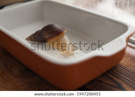 achatina bathing, gastropod taking a bath, snail in the pool, achatina close-up in the water Royalty-Free Stock Photo #1947200455