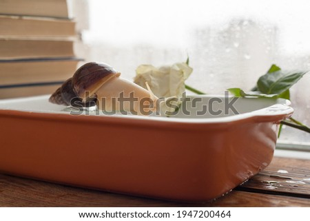 achatina bathing, gastropod taking a bath, snail in the pool, achatina close-up in the water Royalty-Free Stock Photo #1947200464