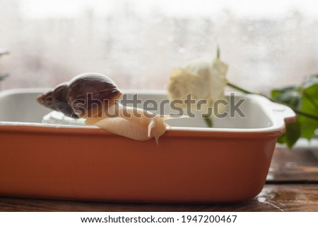 achatina bathing, gastropod taking a bath, snail in the pool, achatina close-up in the water Royalty-Free Stock Photo #1947200467