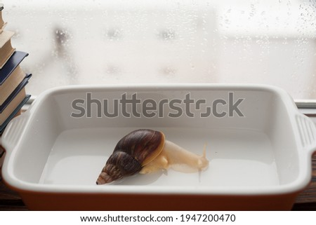 achatina bathing, gastropod taking a bath, snail in the pool, achatina close-up in the water Royalty-Free Stock Photo #1947200470