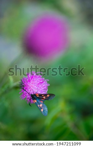 Zygaaena sp Insect (Arthropod) on mountain wild flowers in Néouvielle Nature Reserve in Vallée d'Aure valley of L'Occitanie region of Hautes-Pyrénées in France, Europe Royalty-Free Stock Photo #1947211099