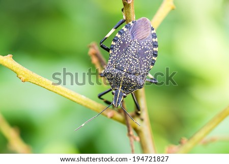 stink bug (Erthesina fullo)