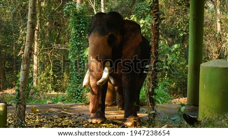 Kodanad Elephant Training Centre, one of the largest elephant training centers in Kerala. Since the capture of pachyderms was deemed illegal in the state,   Royalty-Free Stock Photo #1947238654