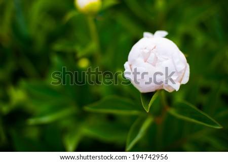 Peony flower background #194742956