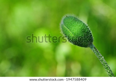 Red poppy bud. Summer flowers in the garden. Bridal bouquet. Nature screensaver on your desktop.