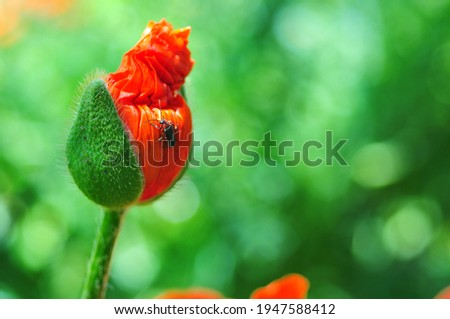 Red poppy bud. Summer flowers in the garden. Bridal bouquet. Nature screensaver on desktop.
