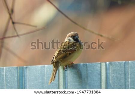 Sparrow Pictures , Pretty Bird , Wildlife