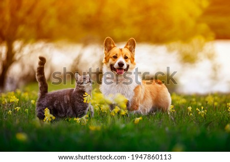 cute fluffy friends a corgi dog and a tabby cat sit together in a sunny spring meadow Royalty-Free Stock Photo #1947860113