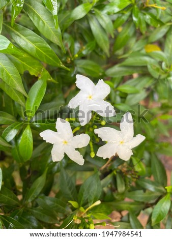The close up of Milky Way, Snowflake and Arctic Snow flowers on plant and green background. White star flower called  Wrightia antidysenterica, Snowflake, Milky Way flowers.