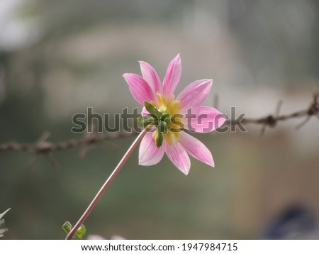 Dahlia mignon light pink flower with bokeh background