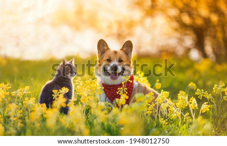 cute fluffy friends a corgi dog and a tabby cat sit together in a sunny spring meadow Royalty-Free Stock Photo #1948012750