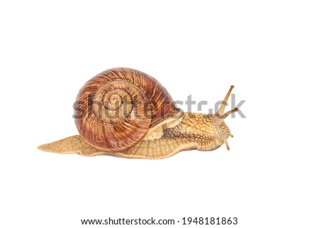 A brown garden snail on a white background. Helix pomatia. grape snail on a white background. mollusc and invertebrate. delicacy meat and gourmet food Royalty-Free Stock Photo #1948181863