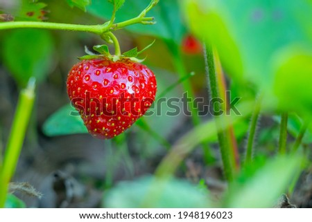 Ripe strawberries with holes made by a slug. The slug-pest Arion vulgaris snail parasitizes the strawberry beds of the garden field, eating ripe berries. Royalty-Free Stock Photo #1948196023