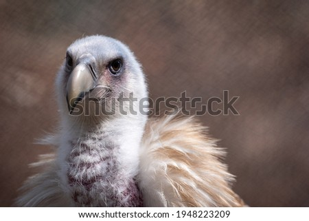 A portrait head shot of an endangered Himalayan Griffon vulture in captivity in a zoo. Royalty-Free Stock Photo #1948223209