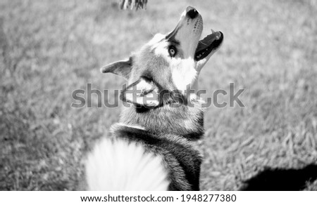 Black and white picture of husky playing
