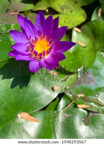 Photo of a small violet Lotus bloom in Lotus pond , which have many green leaves around with have dried leaves fall on it .