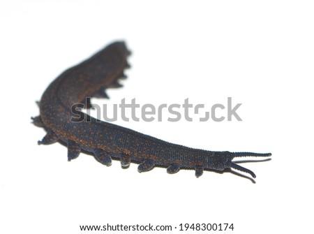 Closeup of the velvet worm Peripatoides novaezealandiae (Onychophora: Euonychophora), an ancient glue-spitting invertebrate from New Zealand, photographed on white background. Royalty-Free Stock Photo #1948300174