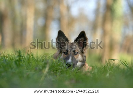 Dog with raised ears looking straight ahead in the grass