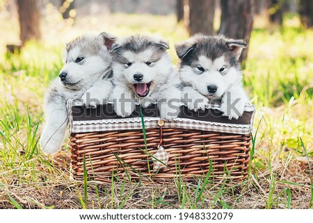 Three cute puppies are sitting in a brown basket and looking at the camera. Shaggy white-gray puppies of malamute, husky in the forest on the nature. Veterinary Medicine. Banner. Puzzle picture.