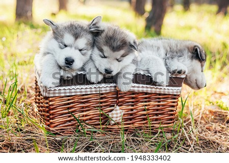 Three cute puppies are sitting in a brown basket and sleep. Shaggy white-gray puppies of malamute, husky in the forest on the nature. Veterinary Medicine. puzzle picture. Not look in the camera