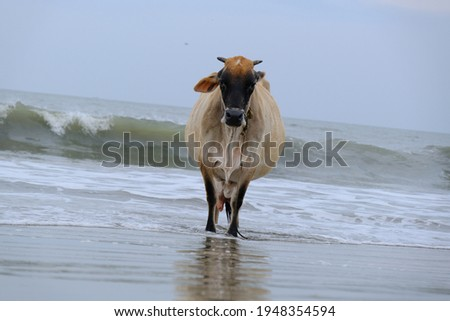 cows on the beach stock images in HD