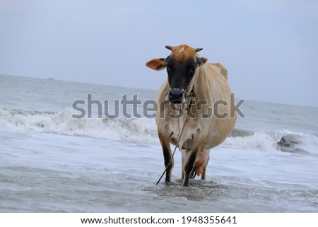 cow on the beach stock images in HD