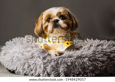 pet shih tzu in dog bed looking cute and fluffy with flower collar neckerchief bandana  Royalty-Free Stock Photo #1948429057
