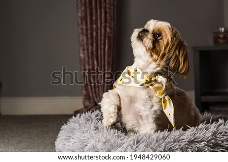 pet shih tzu in dog bed looking cute and fluffy with flower collar neckerchief bandana  Royalty-Free Stock Photo #1948429060