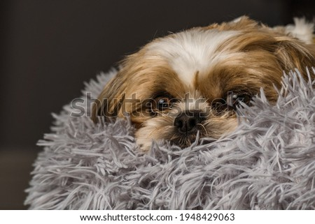 pet shih tzu in dog bed looking cute and fluffy with flower collar neckerchief bandana  Royalty-Free Stock Photo #1948429063