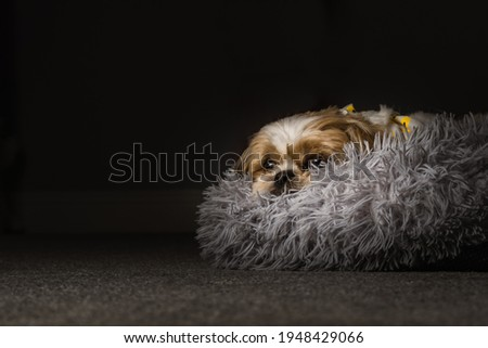pet shih tzu in dog bed looking cute and fluffy with flower collar neckerchief bandana  Royalty-Free Stock Photo #1948429066