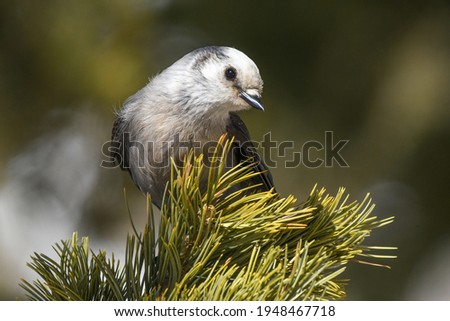 A Canada Jay Perched in a Conifer Tree in the Rocky Mountains of Colorado Royalty-Free Stock Photo #1948467718