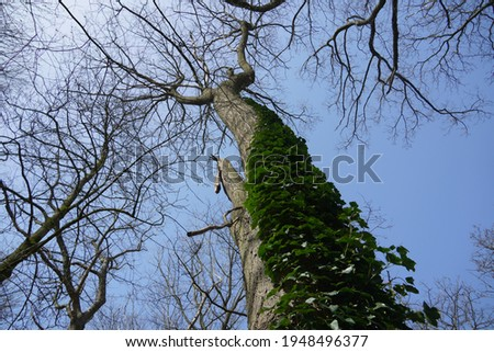 Green Hedera growing up on a Tree, called as  ivy is a genus of 12–15 species of evergreen climbing or ground-creeping woody plants. Native to Europe, Macaronesia, Africa and Asia. Royalty-Free Stock Photo #1948496377