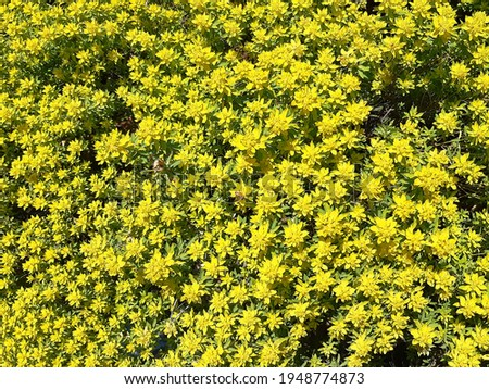 Green - yellow flowering plant  in wild nature on sunny day. Jerusalem Spurge or Woody Spurge plant, Euphorbia hierosolymitana producing milky juice upon it injury. Natural background Royalty-Free Stock Photo #1948774873