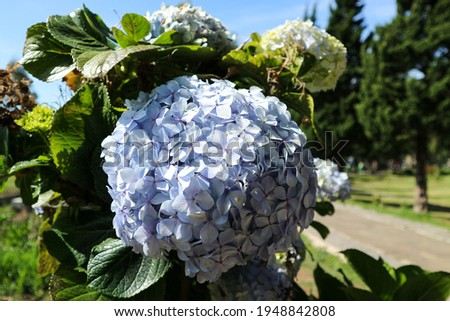 close-up picture of Hydrangea macrophyllia blue