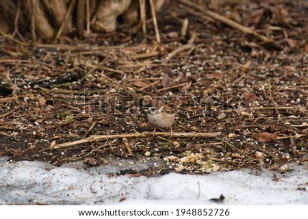 A motley sparrow in beige gray plumage on a motley thawed patches in search of food on a cloudy day in early spring.