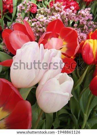 macro photo with a decorative background of beautiful spring flowers of a bulbous plant of tulips for design as a source for prints, posters, decor, wallpaper, interiors, advertising