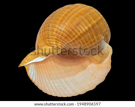 The Shell of the Land Gastropod Mollusk Achatina Fulica (Latin Name). Isolated On Black Background  Royalty-Free Stock Photo #1948906597