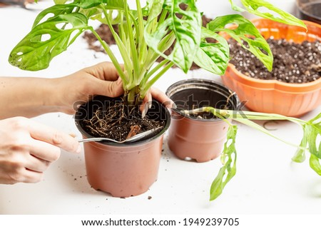 Woman transporting monstera Monkey Maks or Monstera Adansonii into new pot. Houseplant care chores Royalty-Free Stock Photo #1949239705