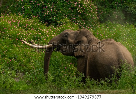 indian elephant (tusker) in musth  Royalty-Free Stock Photo #1949279377