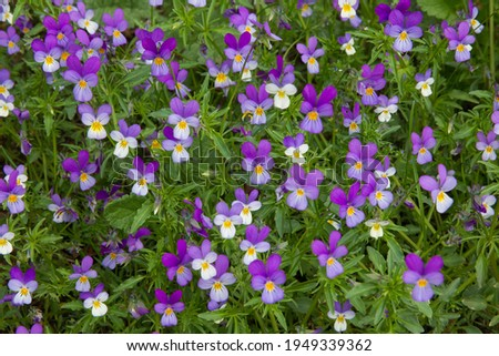 Viola tricolor or Wild pansy flowering in a garden with high density of flowers on a small area forming a blanket of blossom with purple, yellow and white petals and green leaves, taken from above Royalty-Free Stock Photo #1949339362