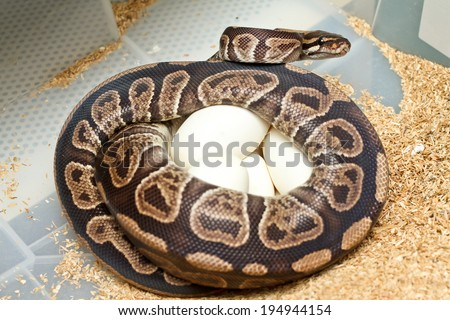 Python female incubates her eggs, Python protecting nest.